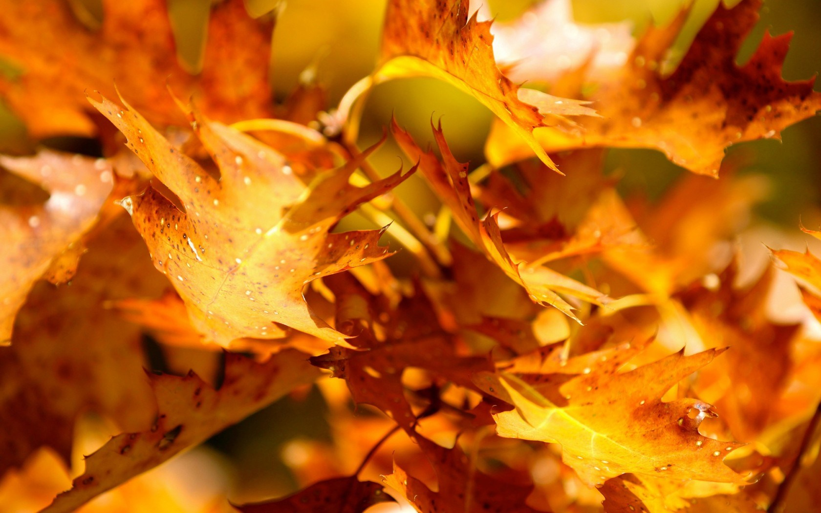 Wallpaper Autumn Leaves 1680x1050
