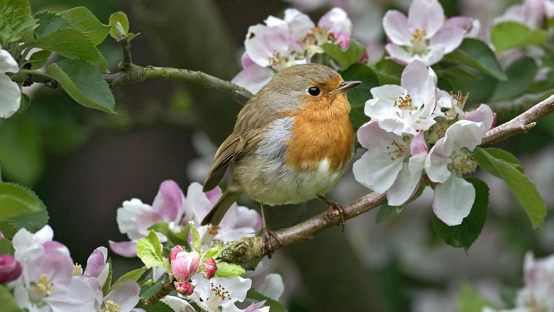 Small bird on the blossoming tree wallpaper 13708 1920x1080