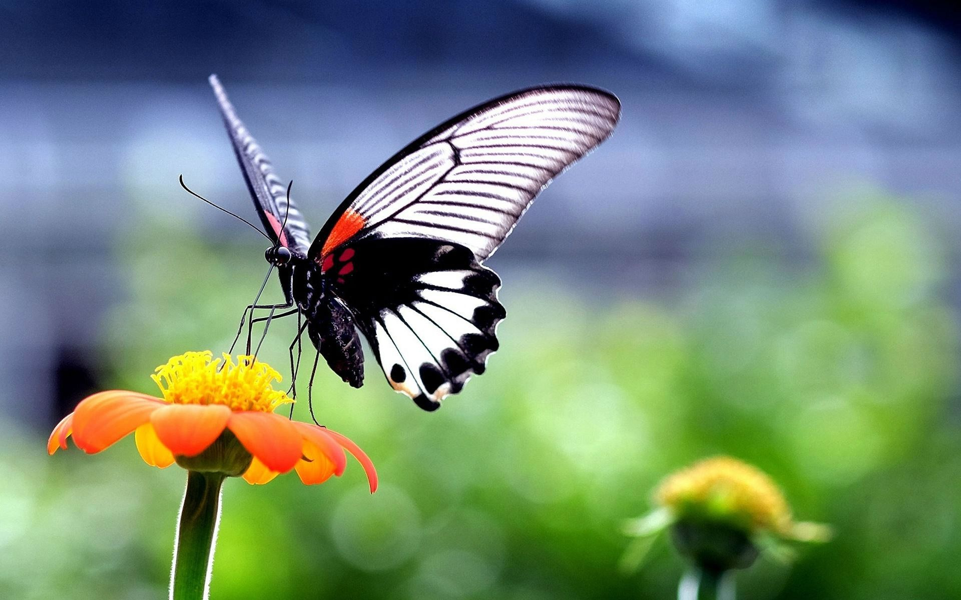 BUTTERFLY WALLPAPER Cute butterfly on sunflower marvelous HD 1920x1200