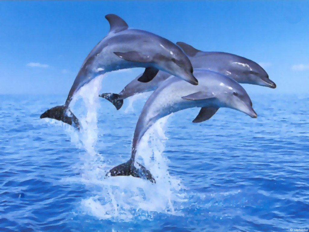 Dolphin Wallpapers 2013 HD 3D Dolphins 2013 Backgrounds Shayari 1024x768