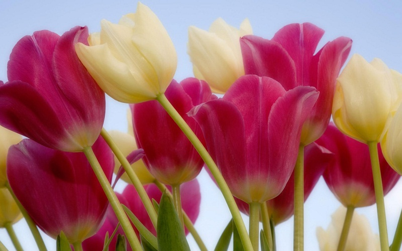 Tulip flower wallpapers full HD 25601600 FREE HD WALLPAPER FOR 800x500