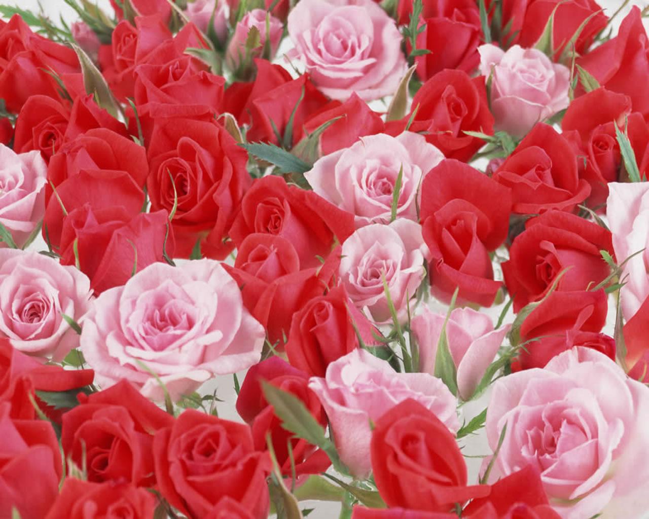 Beautiful Rose Flowers Wallpapers Wallpapersafari