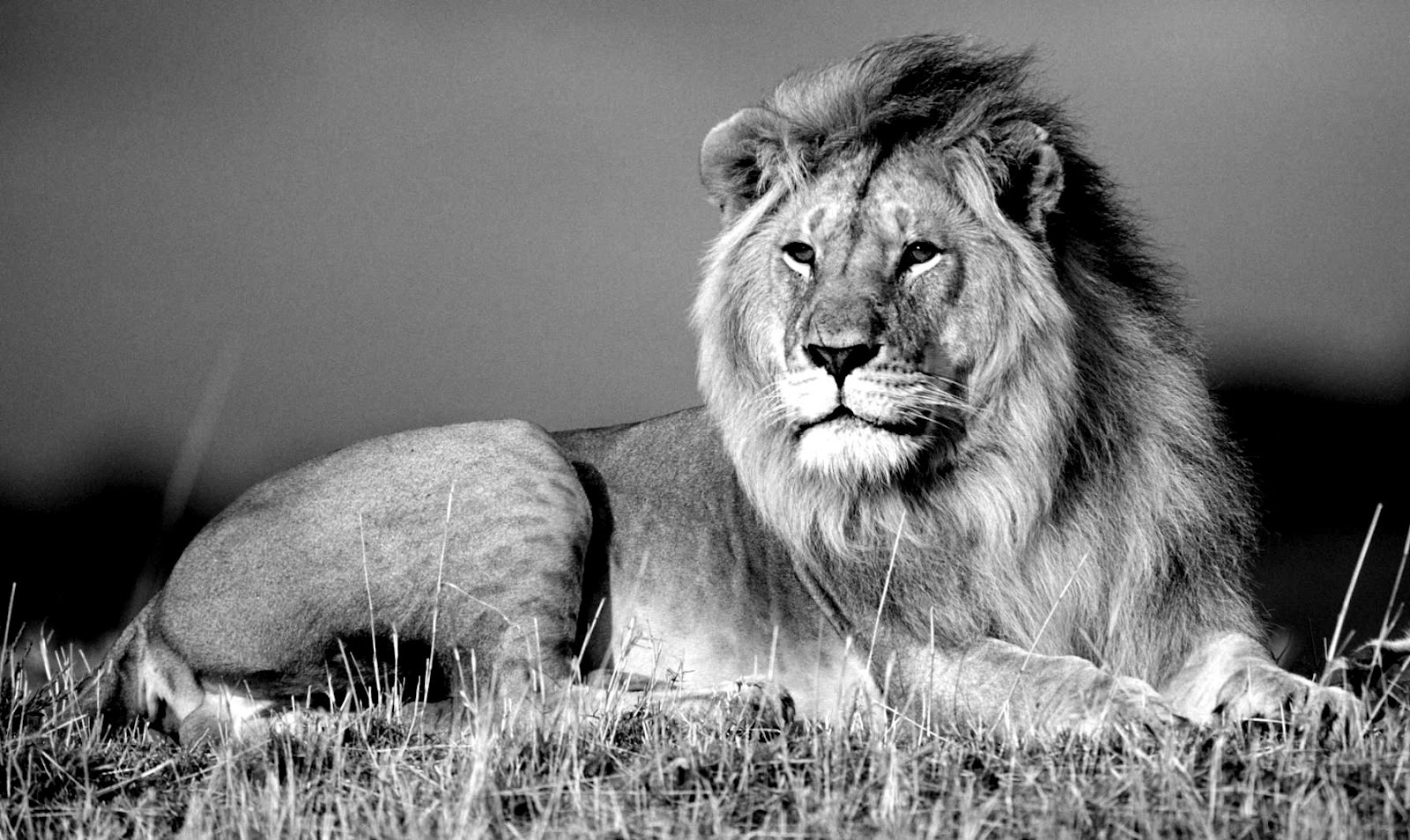 Jungle king lion wallpapers black and white photography 1600x954