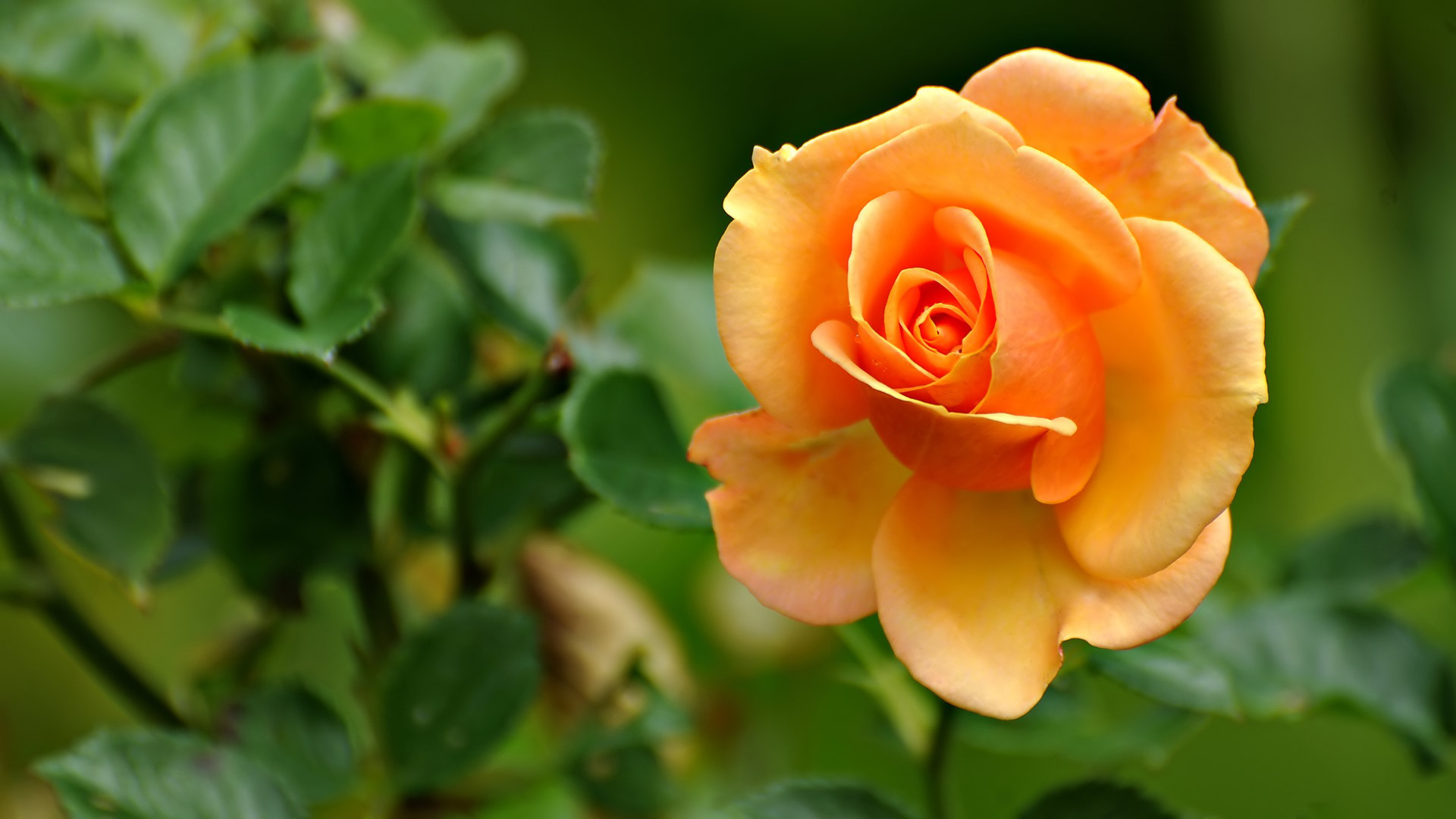Orange Rose Desktop Wallpaper Most HD Wallpapers Pictures Desktop 1920x1080