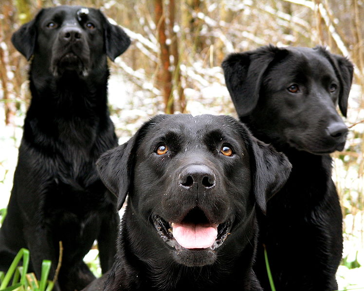 black wallpaper hd Black Lab Wallpaper 748x599