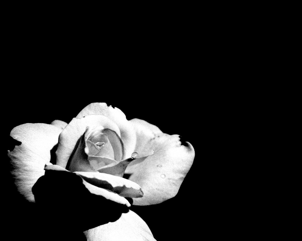 Free Download Black And White Rose Flower Wallpaper Hd