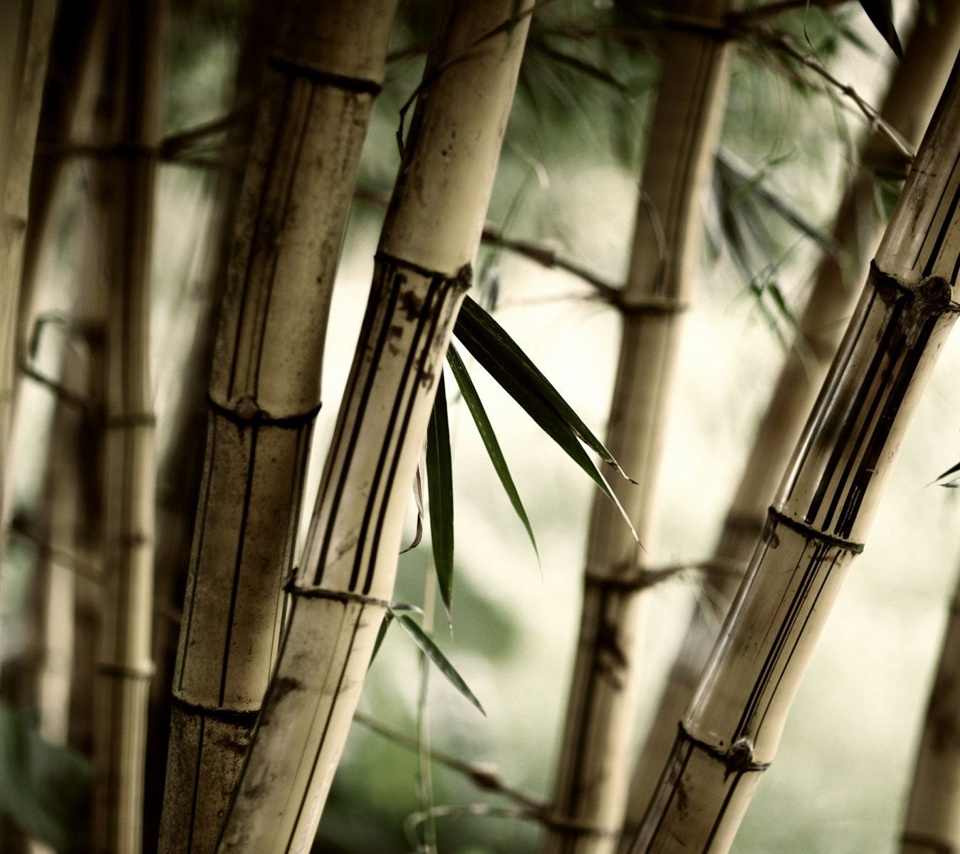 high quality bamboo tree Tablet wallpapers for all Samsung Galaxy 960x854
