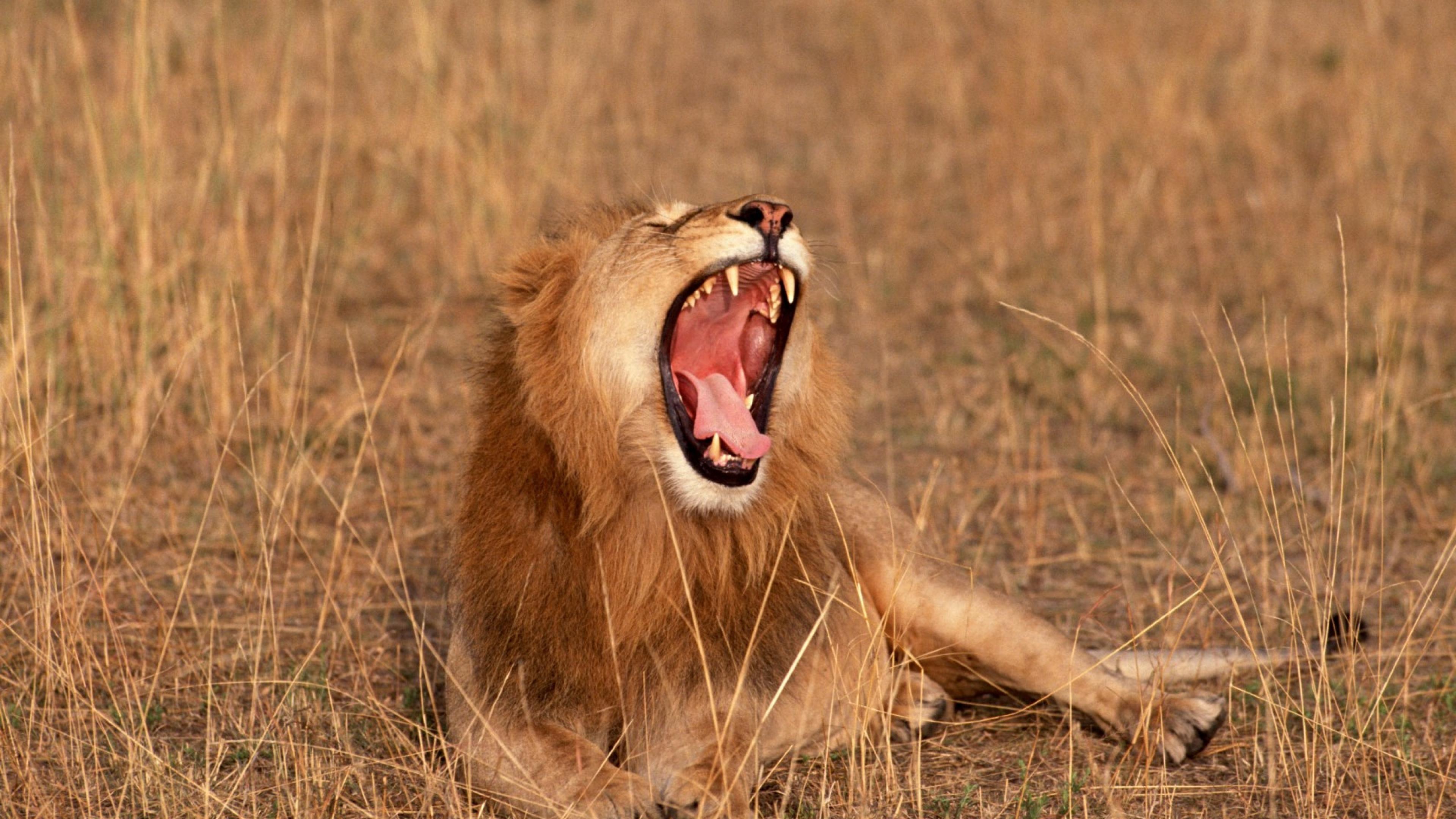 Download Wallpaper 3840x2160 Africa Lion Savannah Animals 4K Ultra 3840x2160
