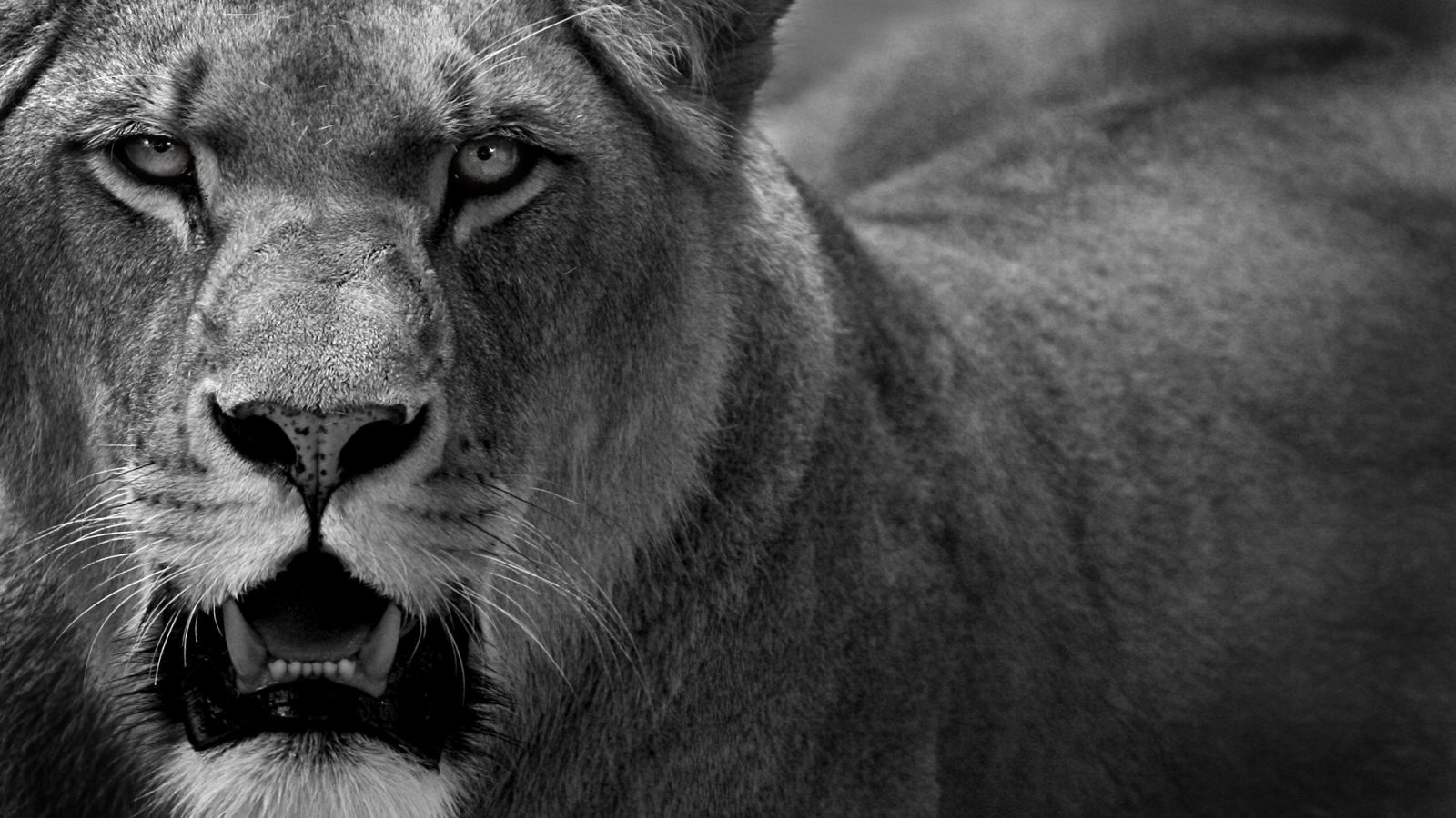 Liones in black and white HD Wallpaper   HD Wallpaper Zone 1600x900