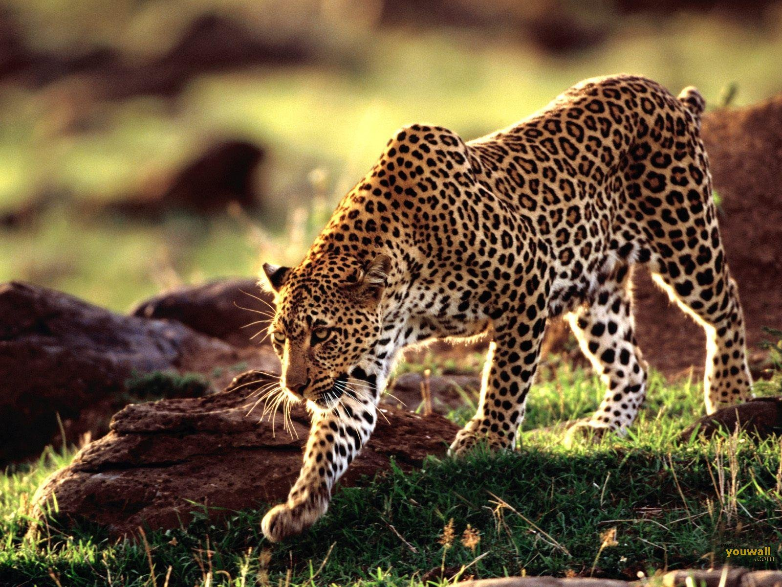 Wild Animal Wallpaper Wild AnimalFunny AnimalMating VideosPictures 1600x1200