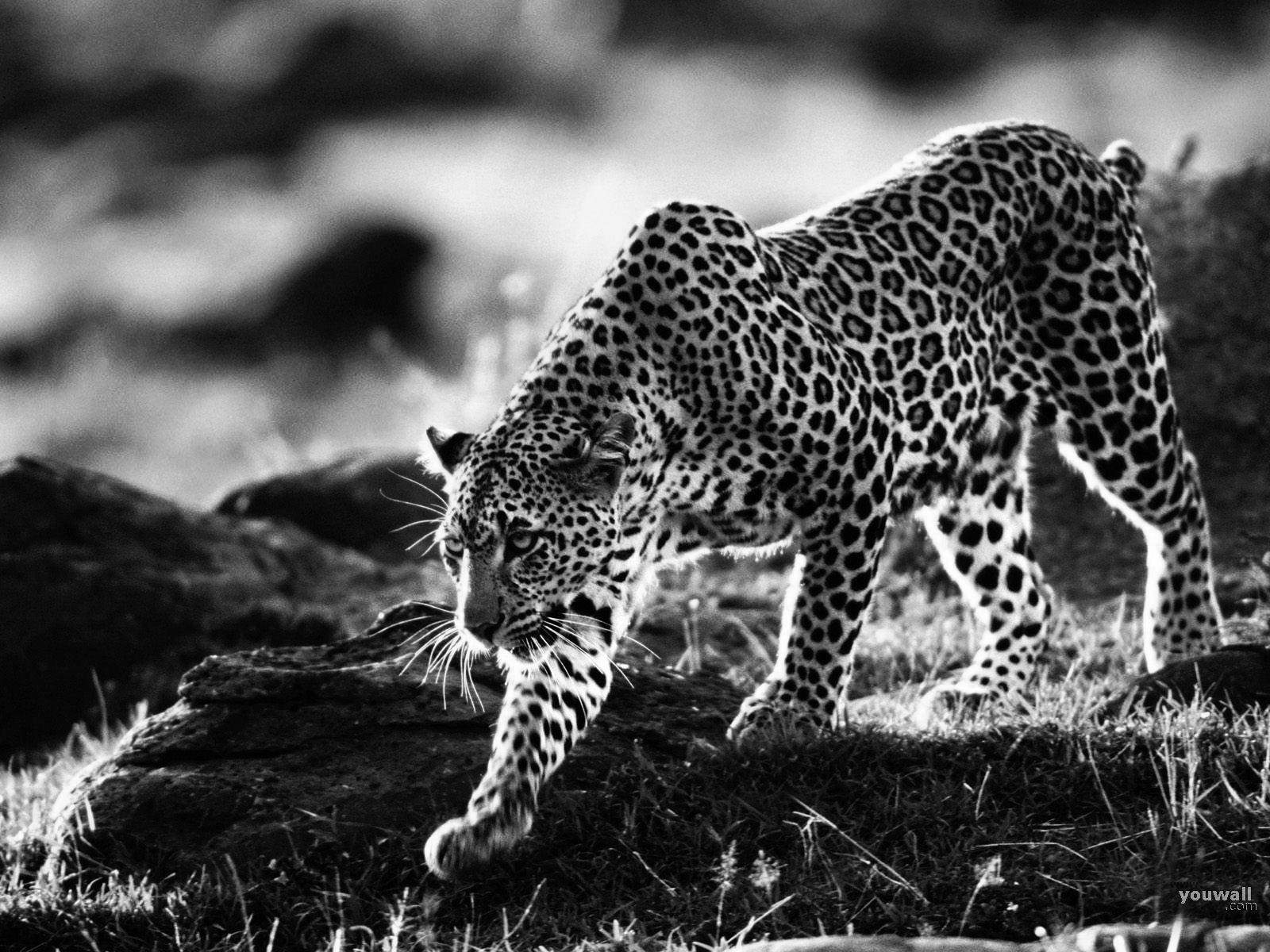 Black and white cheetah wallpaper Group 52 1600x1200