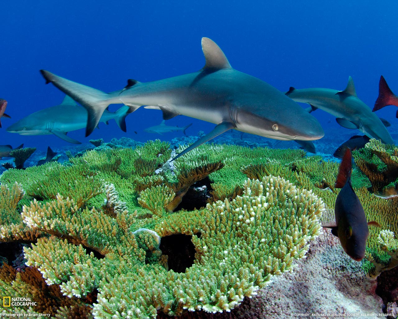 Gray Reef Shark Picture Kingman Reef Wallpaper    National Geographic 1280x1024