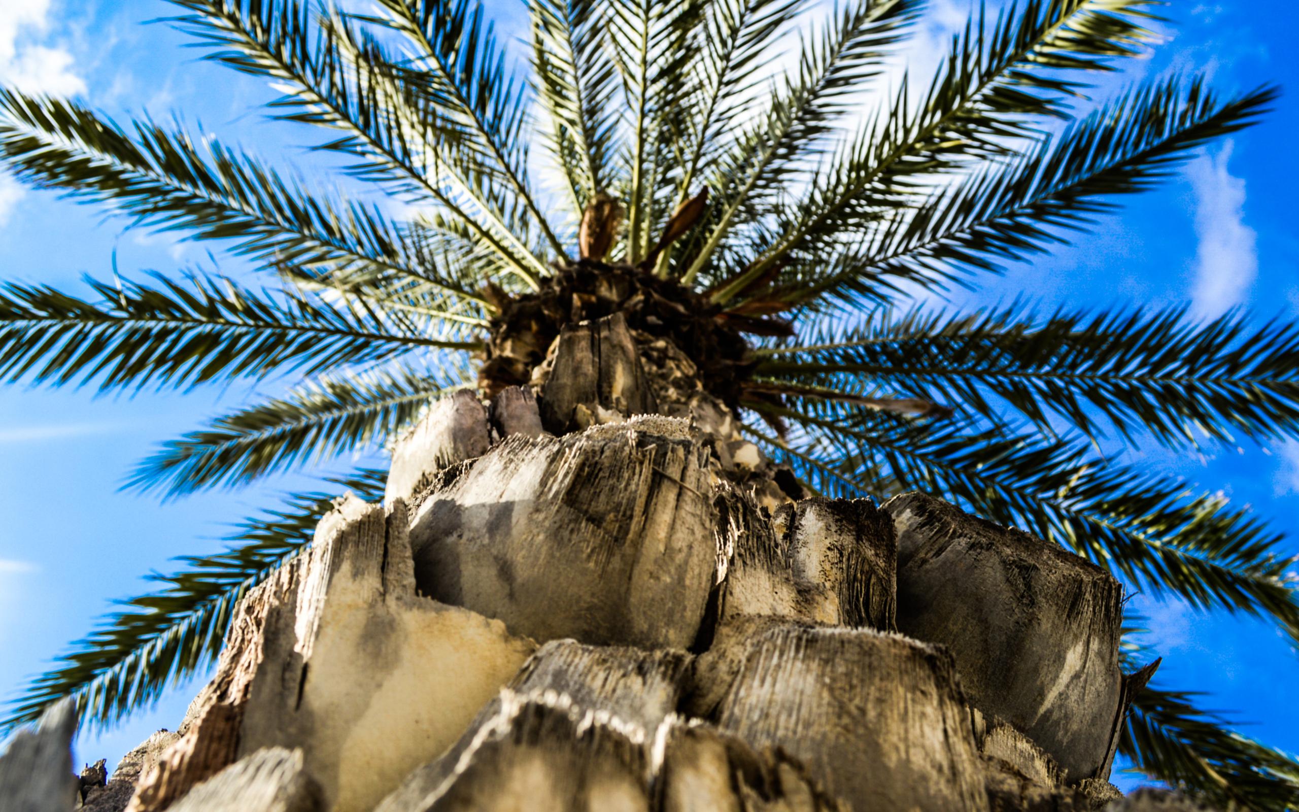 Download Palm tree wallpaper 2560x1600