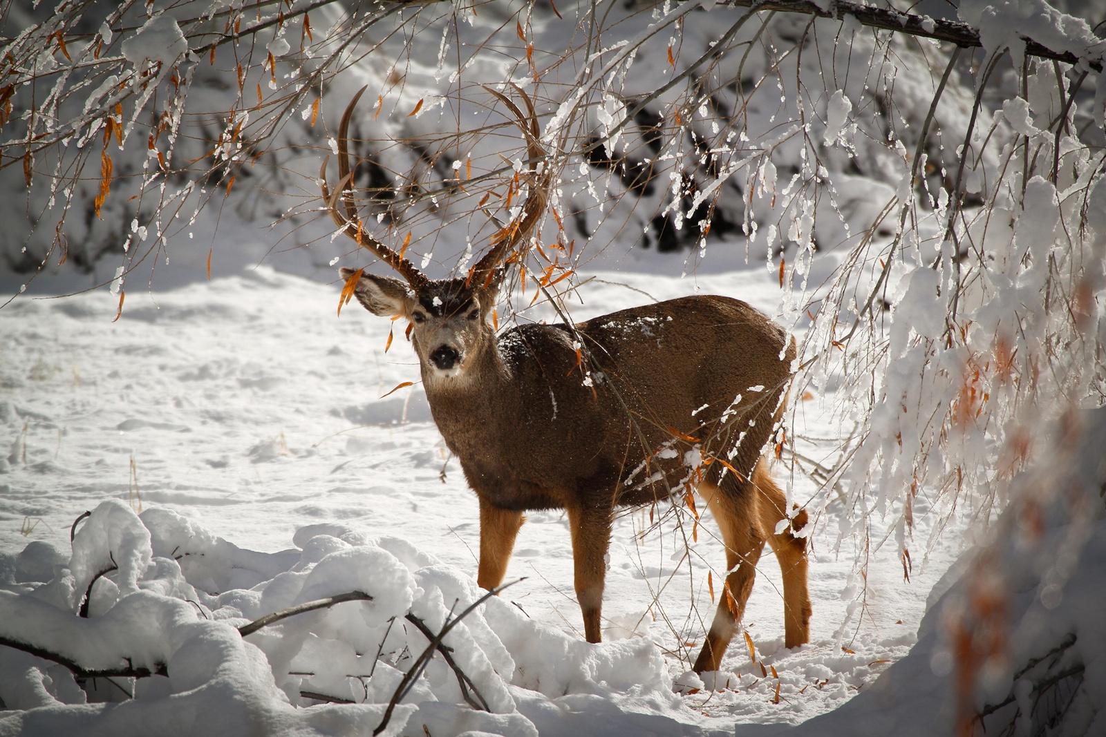 Deer Pictures   Wallpapers HD Fine 1600x1067