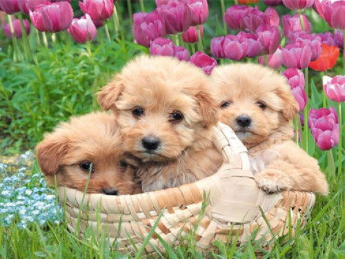 Puppy Screensaver Screensavers   Download Puppy Screensaver 500x375