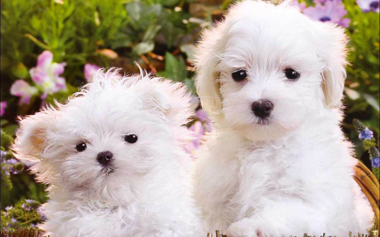 Cute Puppies   Puppies Wallpaper 16094555 1280x800