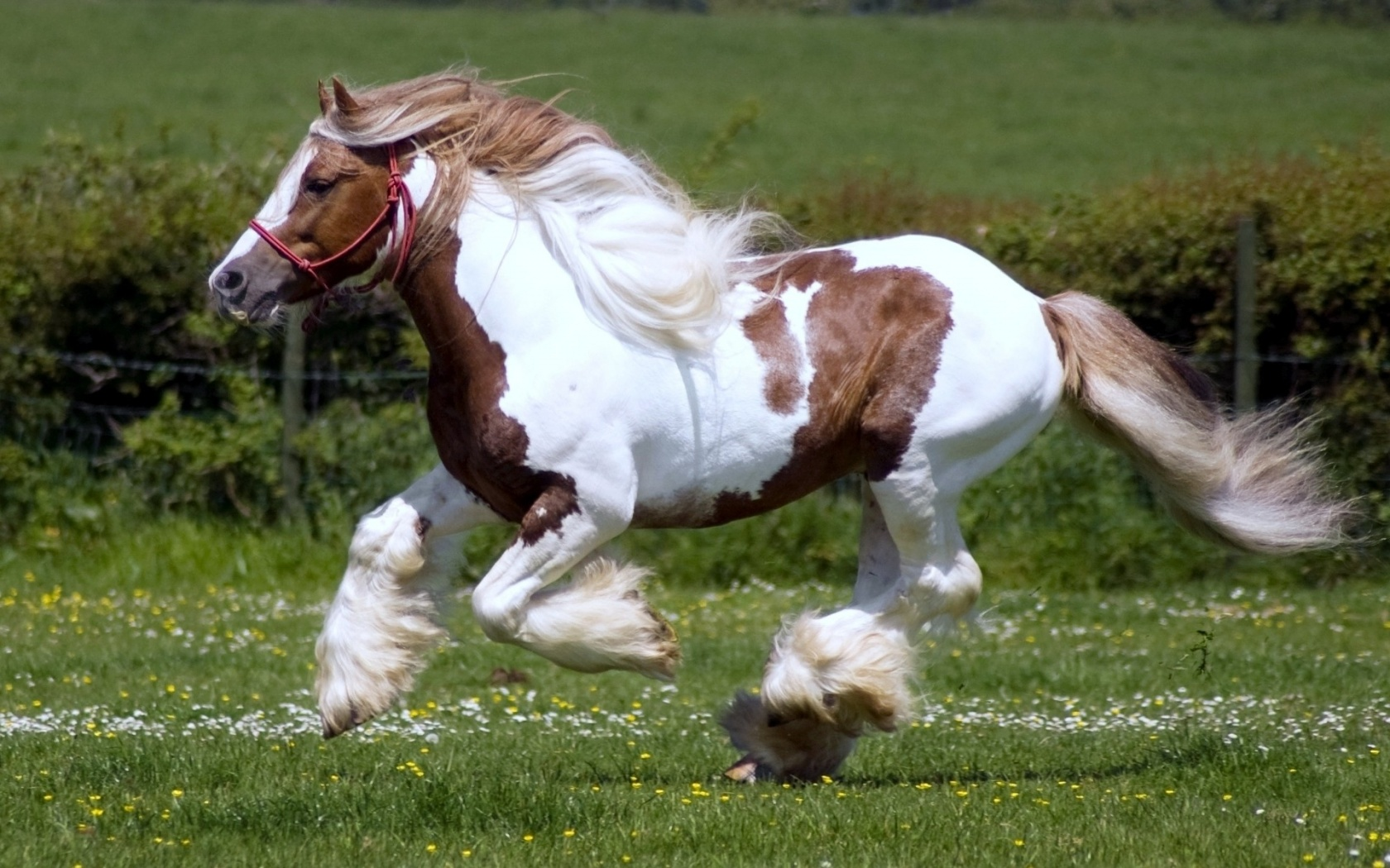 Download Brown And White Horse Running Wild Widescreen Wallpaper 1680x1050