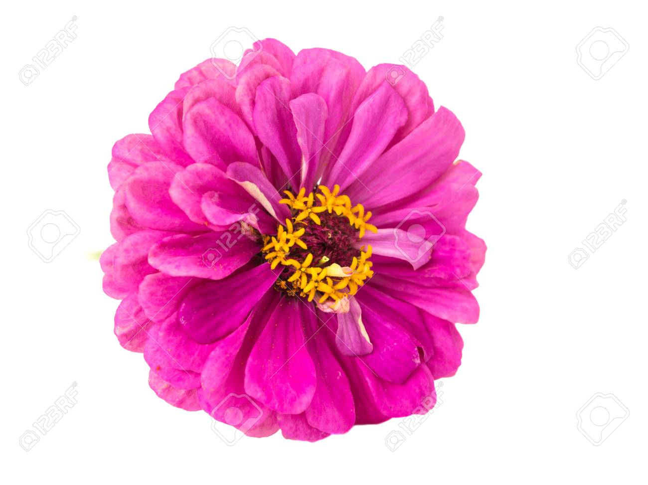 Isolated Zinnia Flower On White Background Stock Photo Picture 1300x973