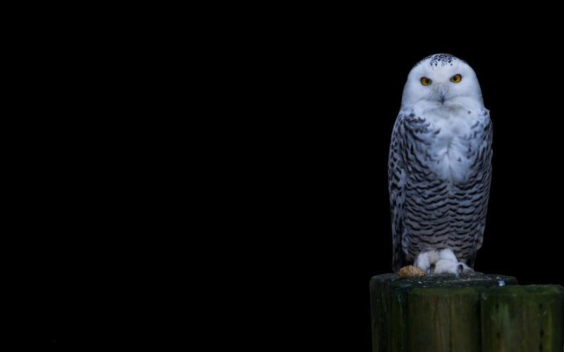 Snowy Owl 800x500