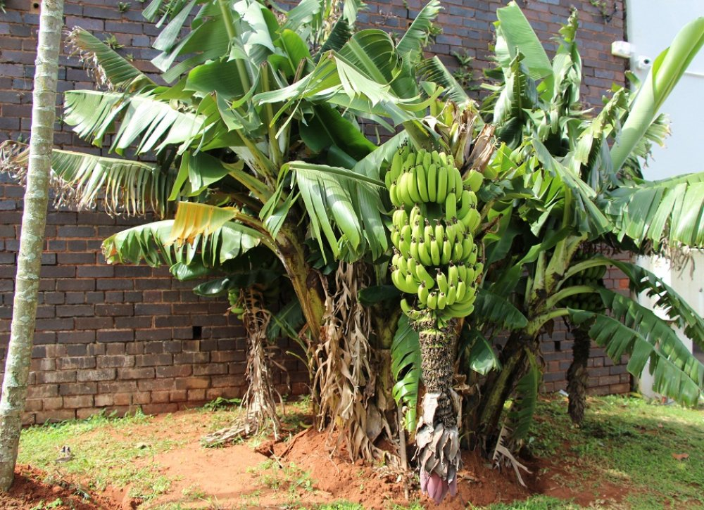 Banana Tree Pictures 1000x725