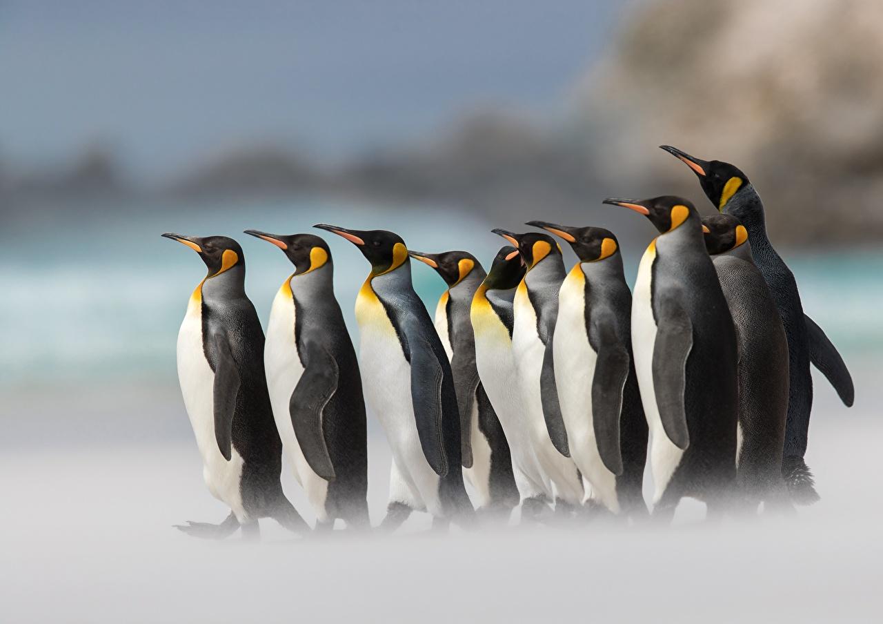 Wallpaper Penguins King penguin Animals 1280x904