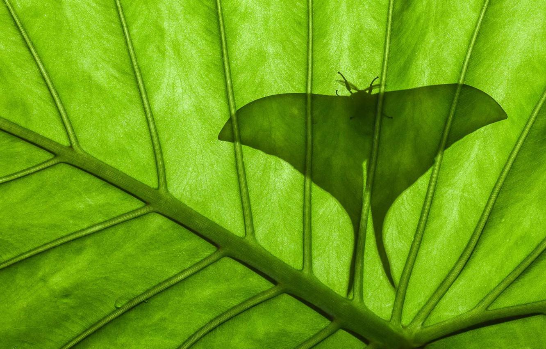 Wallpaper sheet butterfly silhouette Saturnia Luna Emperor 1332x850