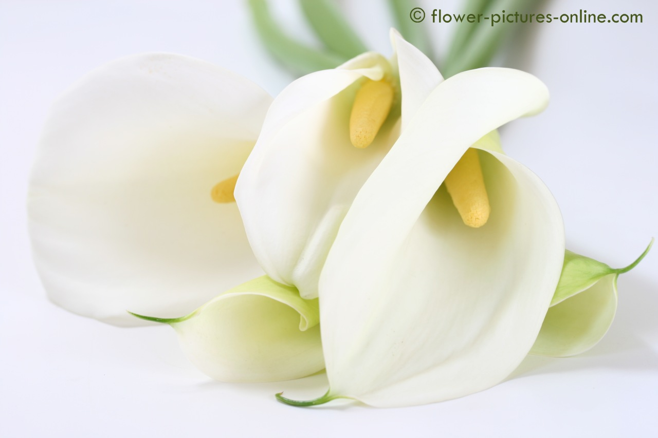 calla lily flowers wallpapers calla lily flowers wallpapers calla lily 1280x853