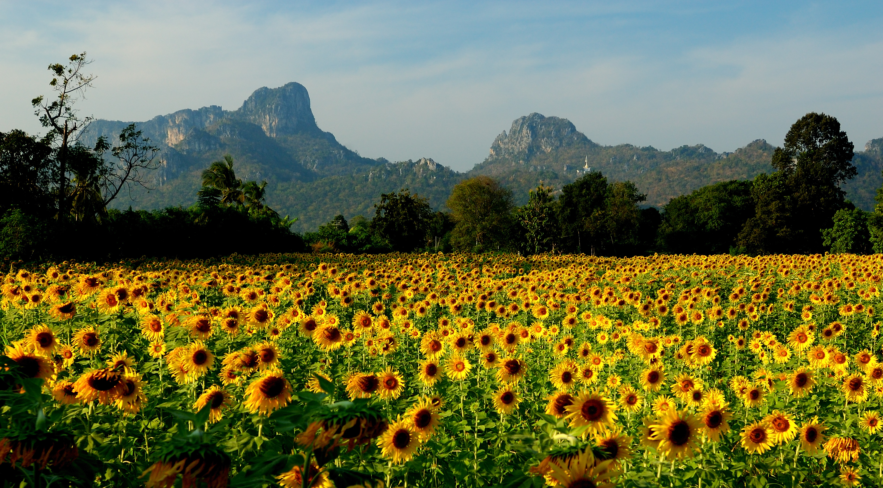 Field of sunflowers in the resort of Lopburi Thailand wallpapers and 2932x1621