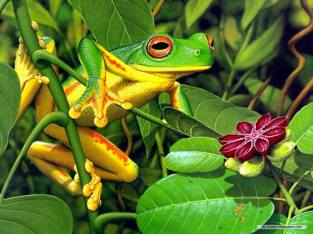 Frog Wallpaper   Frogs Wallpaper 7018060 1024x768