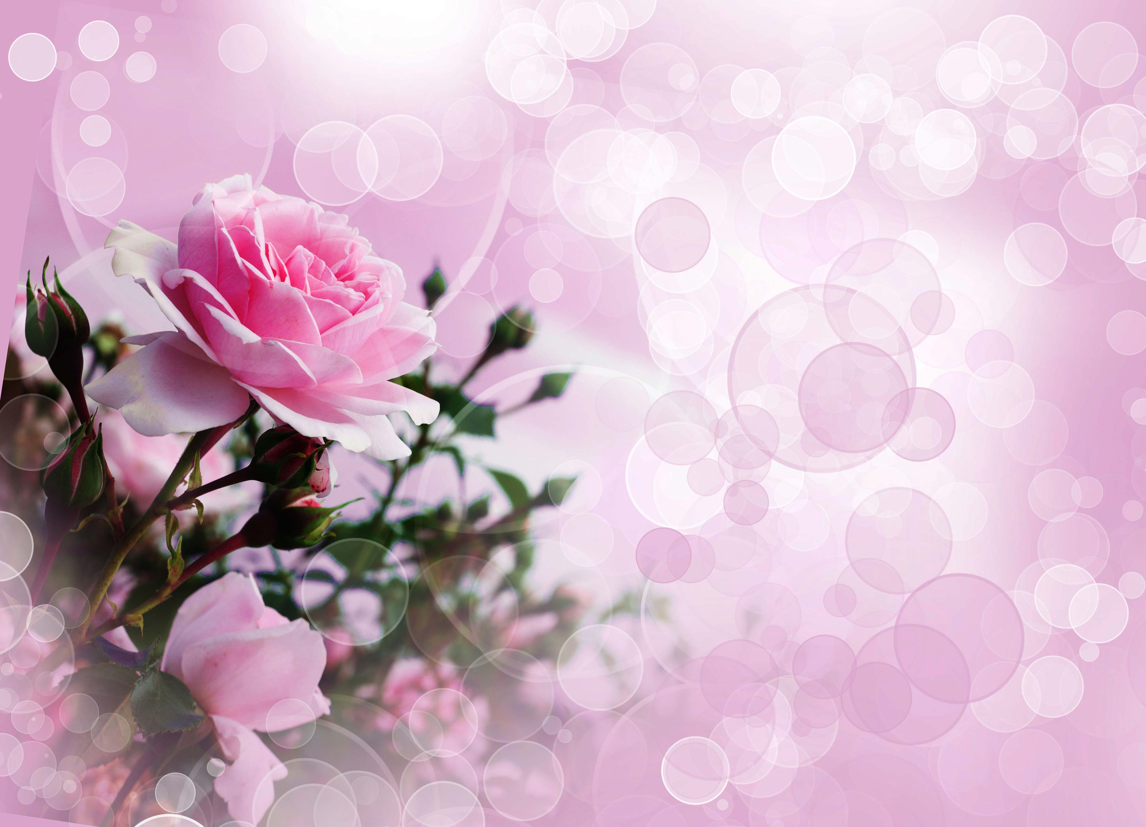 Description Download Pink Rose Wallpaper Ultra Hd Widescreen higher 4000x2887