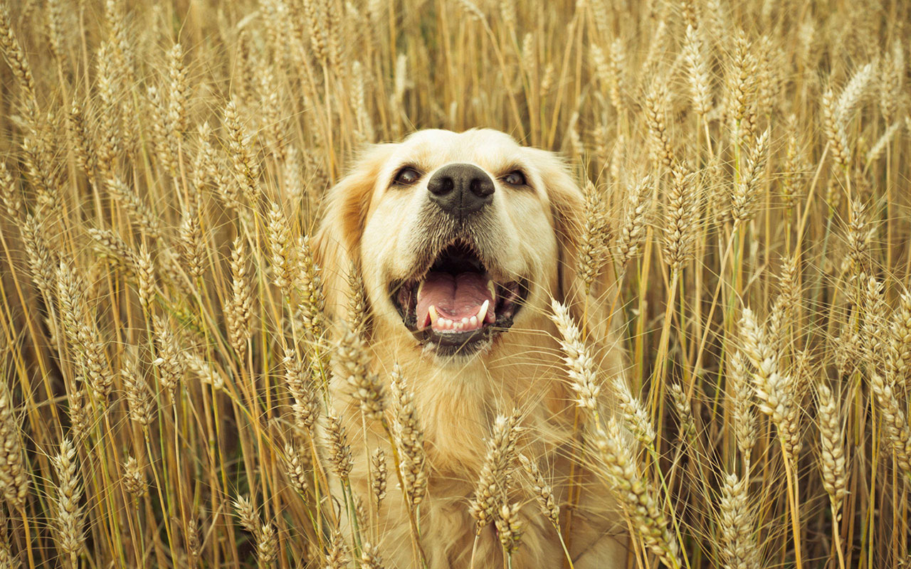 HD Golden Retriever Wallpaper