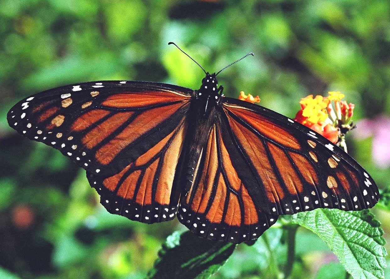 Monarch Butterfly 23 Desktop Background Wallpaper 1242x890