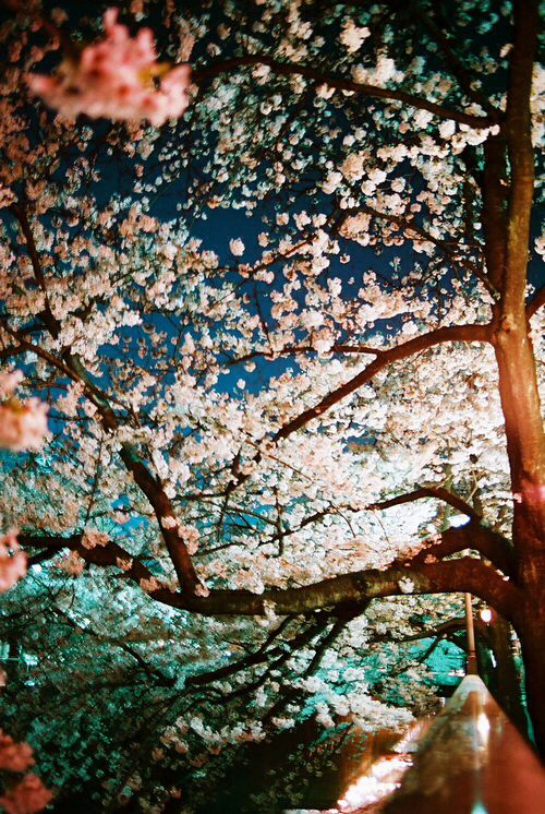 Cherry blossom iPhone background iPhone Pinterest 500x746