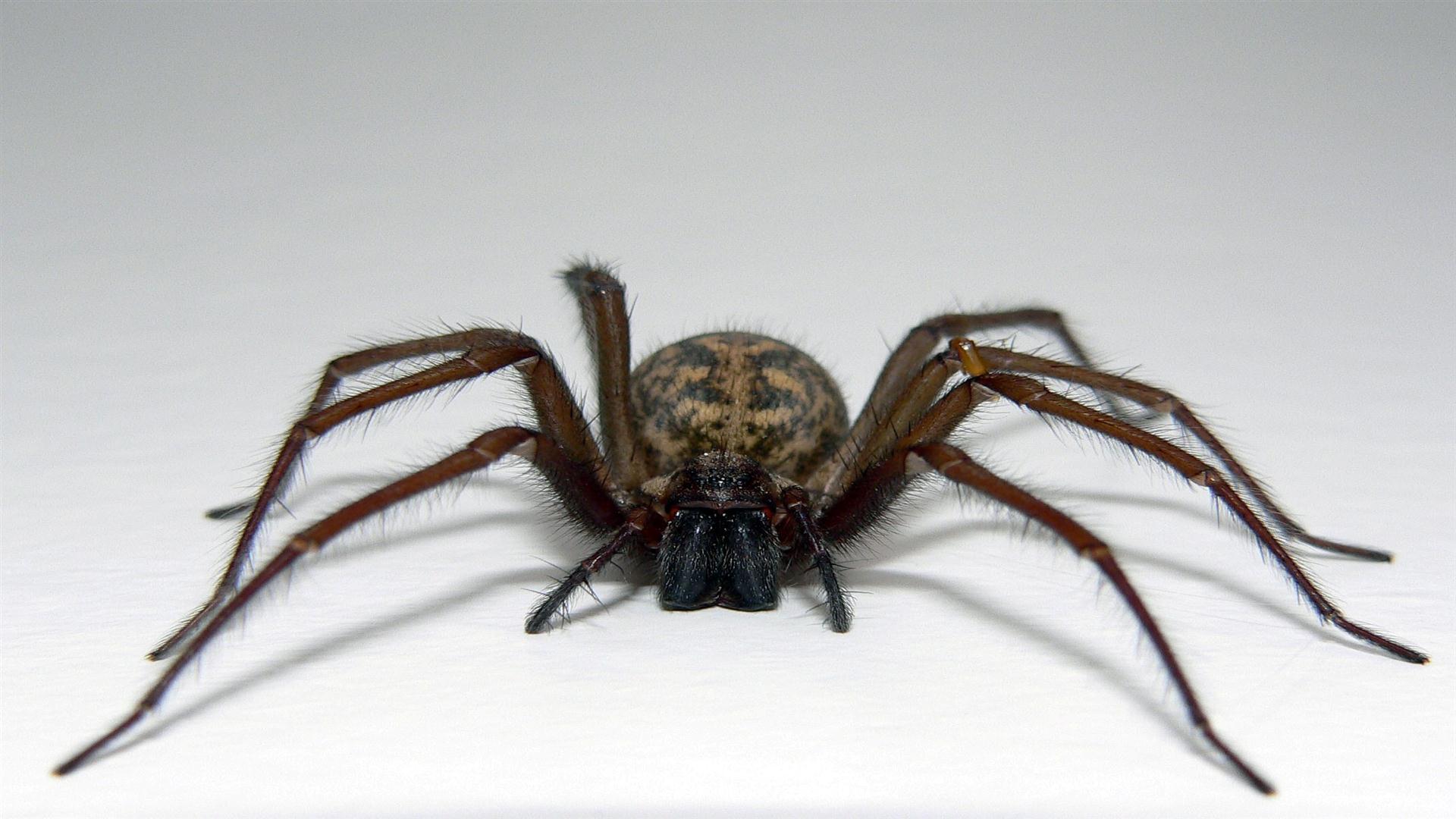 Картинка паука большого черного