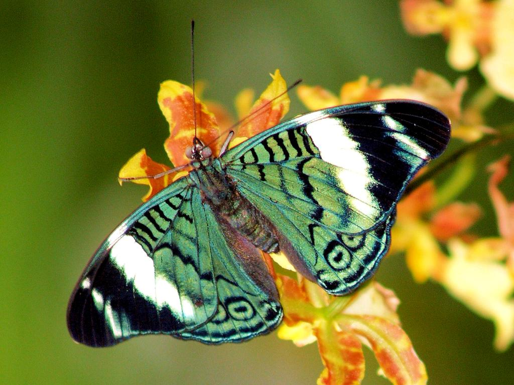 Most Beautiful Butterflies Wallpaper My image 1024x768