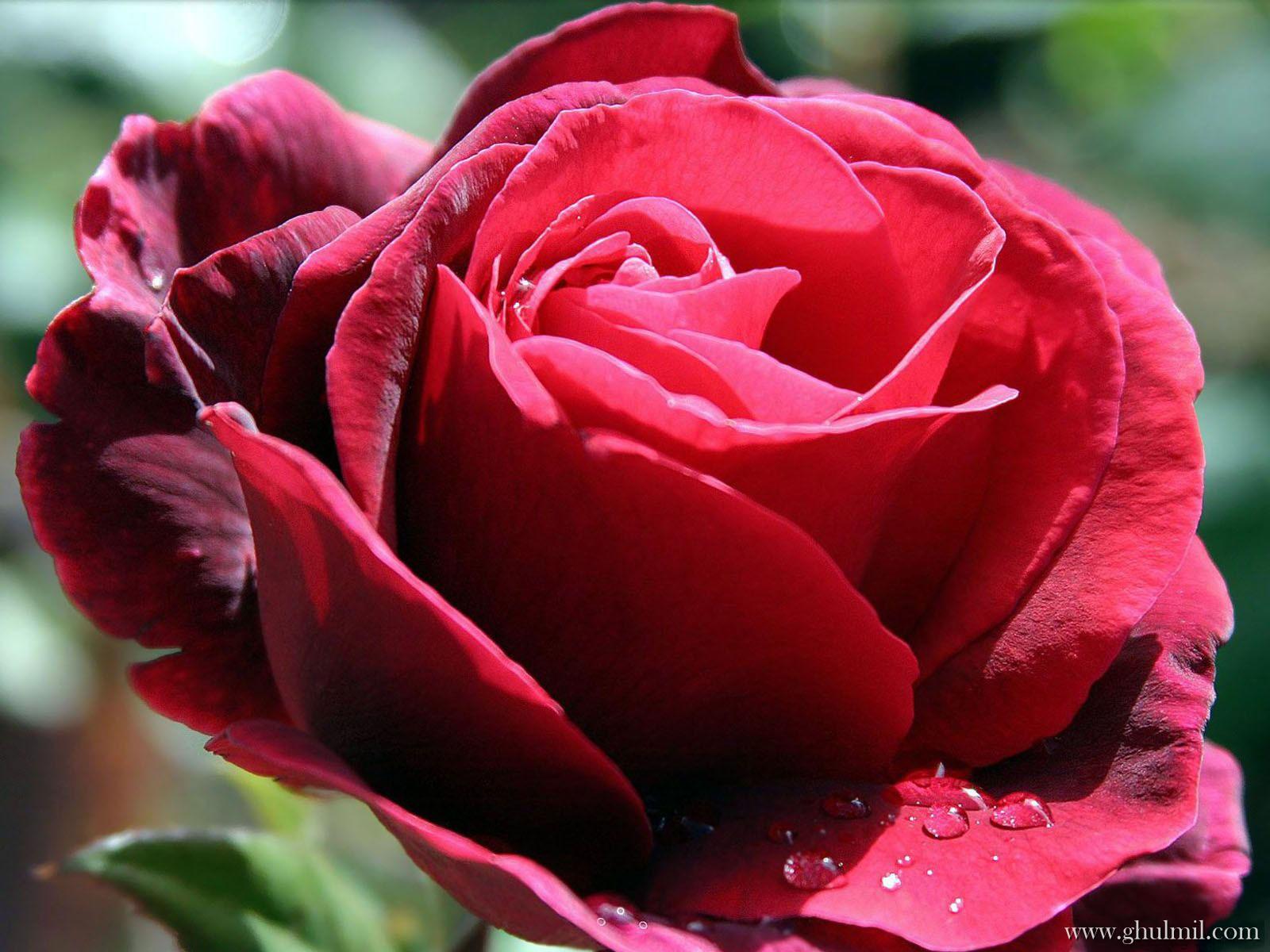Red Rose Love Wallpaper E Entertainment 1600x1200