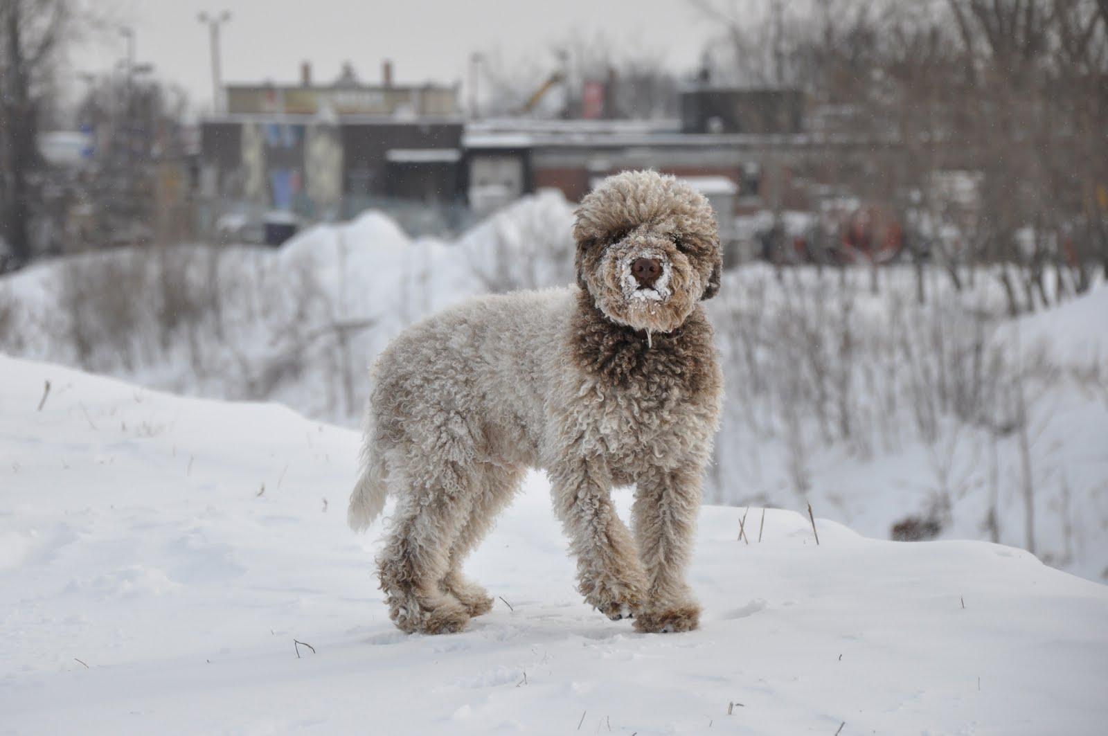 Romagnolo Dog In The Snow Wallpaper 16001063 192073 HD Wallpaper 1600x1063