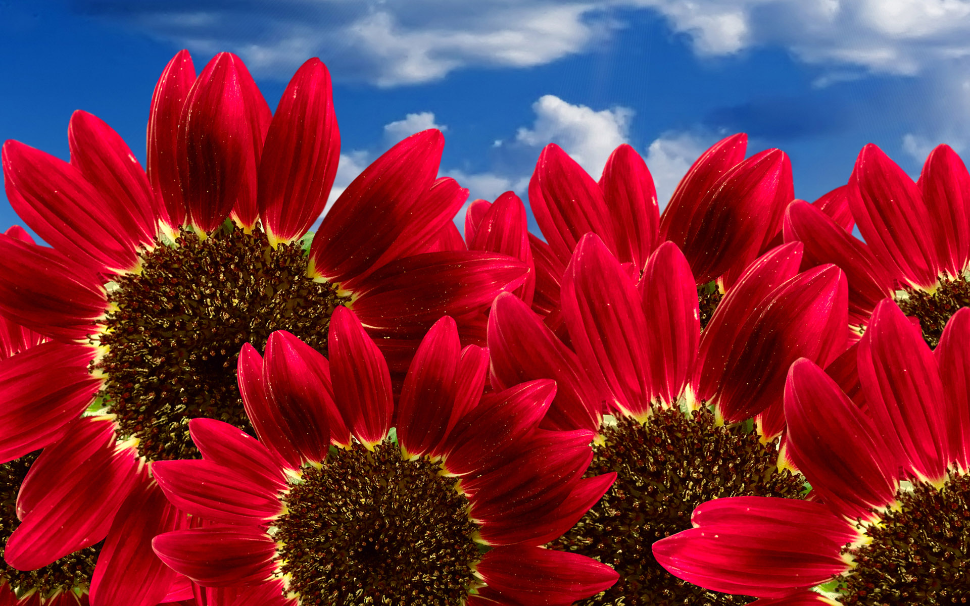 Wallpaper Of Flowers Blooming Pure Red Sunflowers Wallpaper 1920x1200