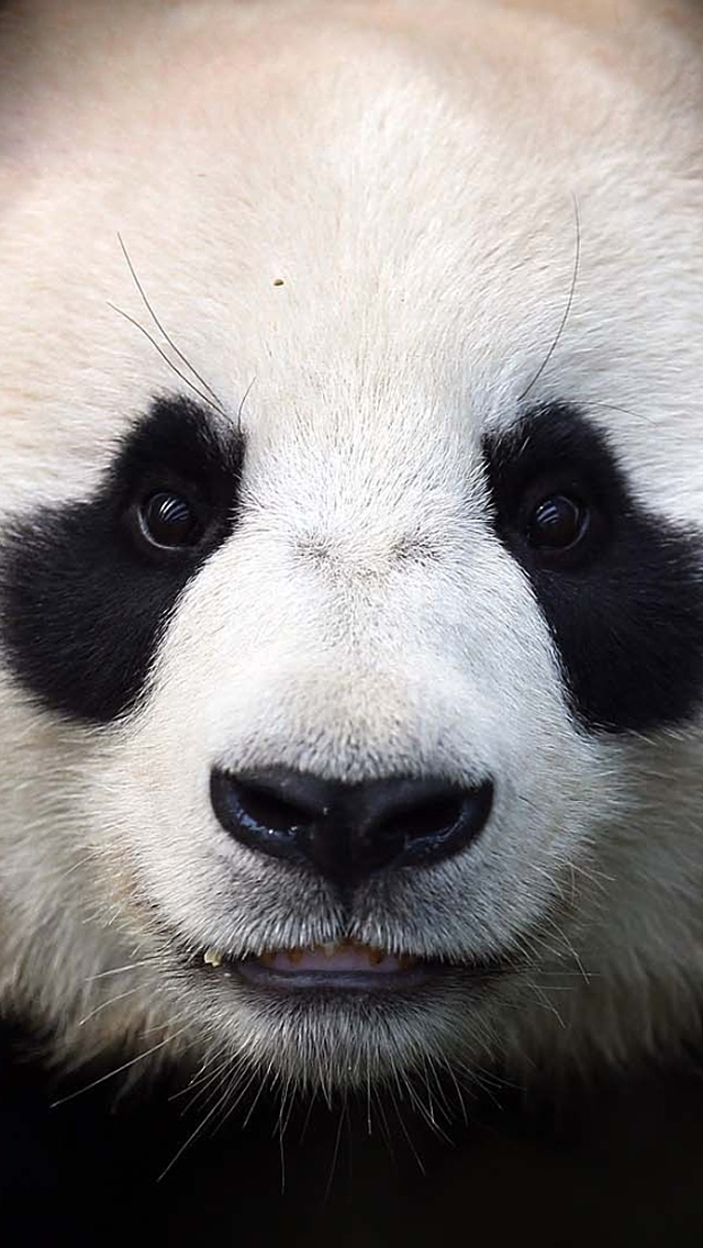 Panda Bear Face iPhone 5 Wallpaper 640x1136 640x1136