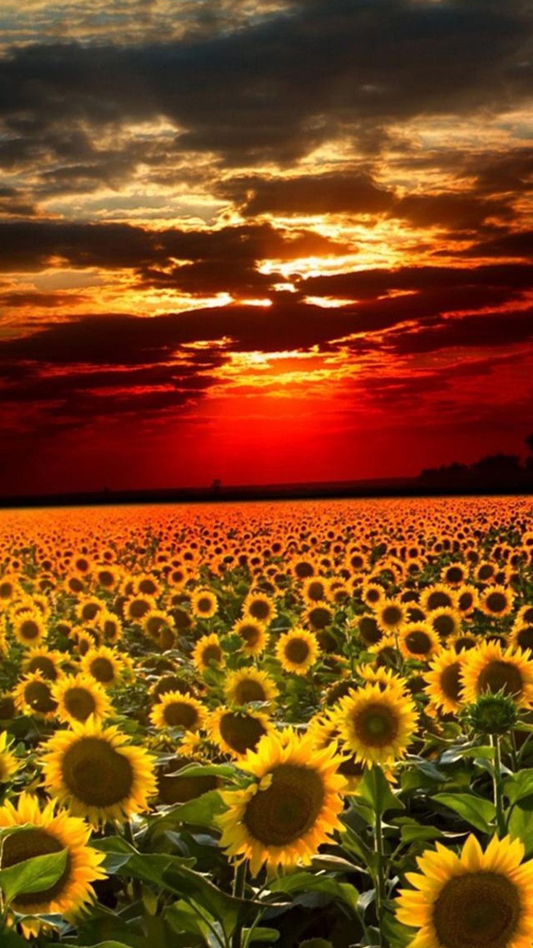 Sunflower Field Landscape IPhone 6 Wallpaper Download IPhone 1080x1920