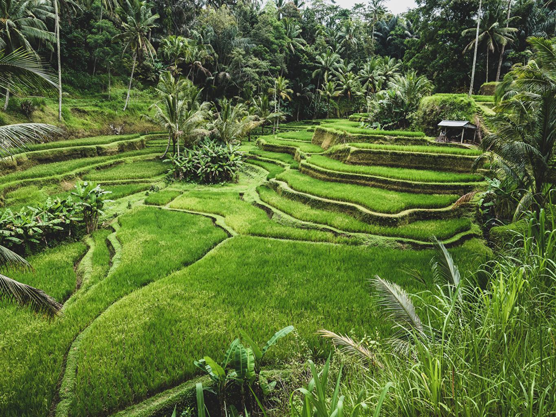 Wallpaper Indonesia Ubud Bali Nature Fields Tropics 1365x1024