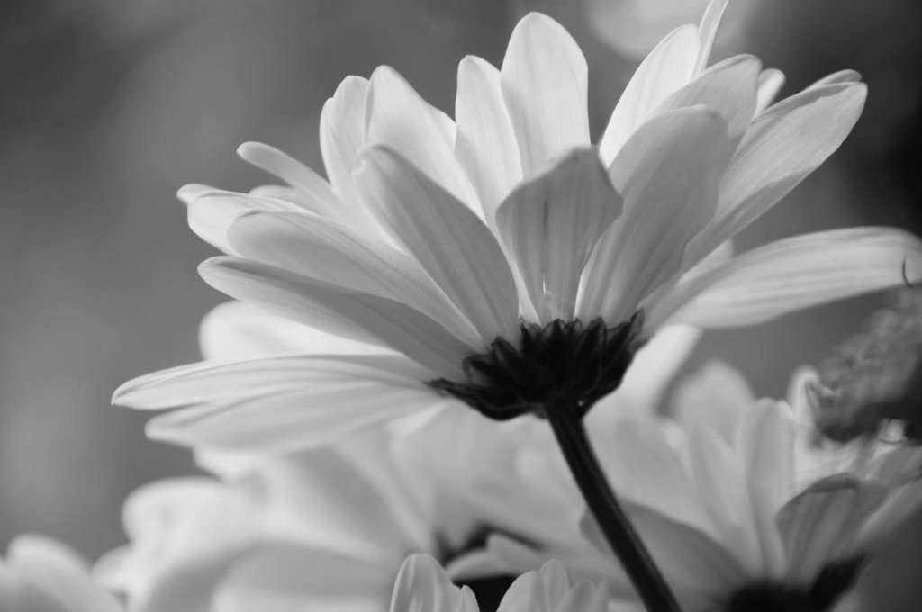 Daisy Flower Black And White Wallpaper White Daisy Wal...