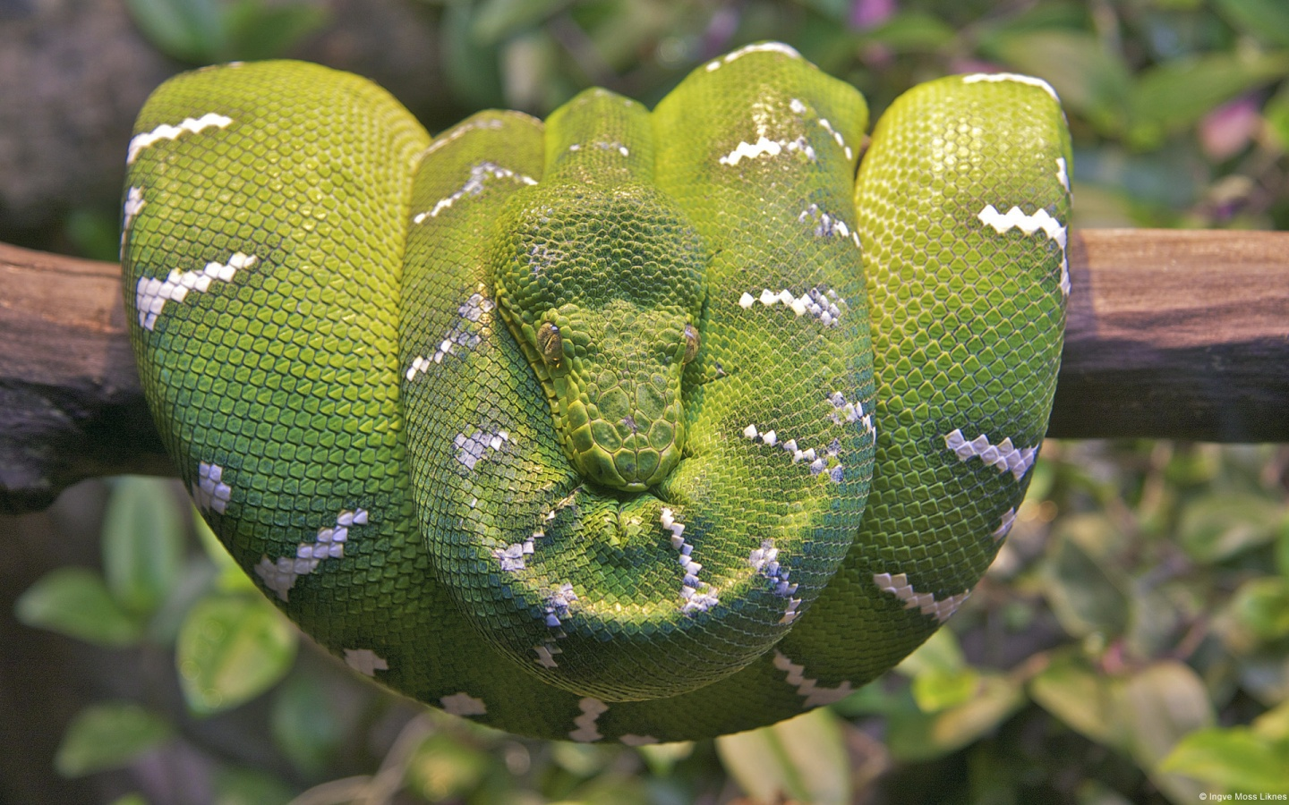 Emerald Tree Boa Snake Wallpapers HD Wallpapers 1440x900