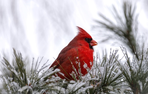 Wallpaper cardinal bird bird red snow wallpapers animals 596x380