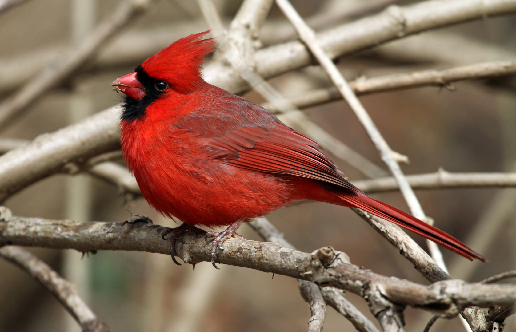Birds Cardinal Photos Wallpaper Birds Birds Wallpaper 1677x1080