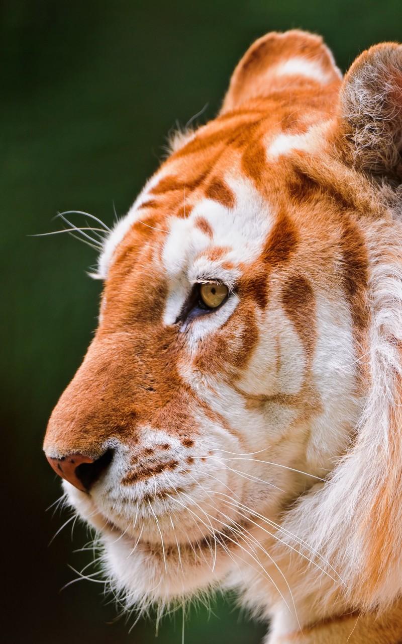 Tiger HD wallpaper for Kindle Fire HD   HDwallpapersnet 800x1280