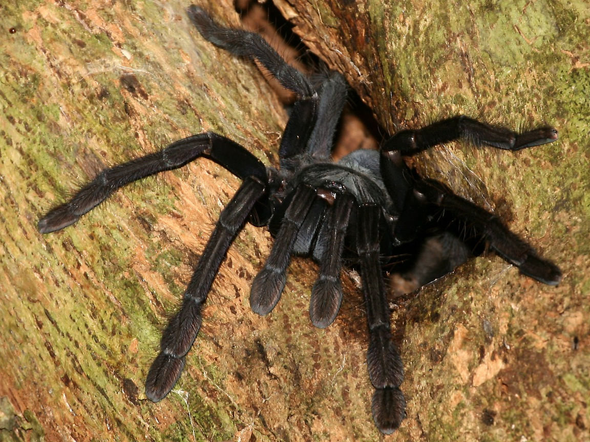Tarantula Spider Wallpaper 1152x864