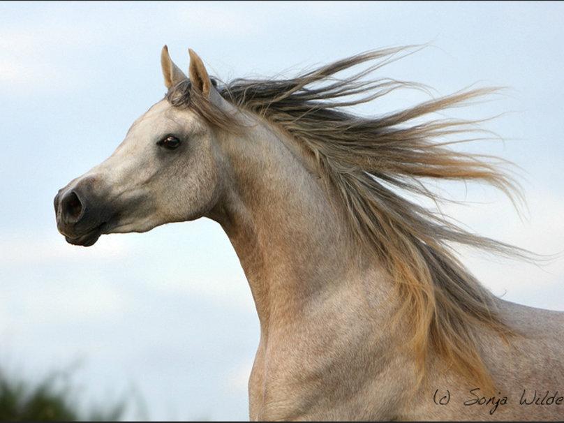 beautiful horse wallpapers   weddingdressincom 808x606