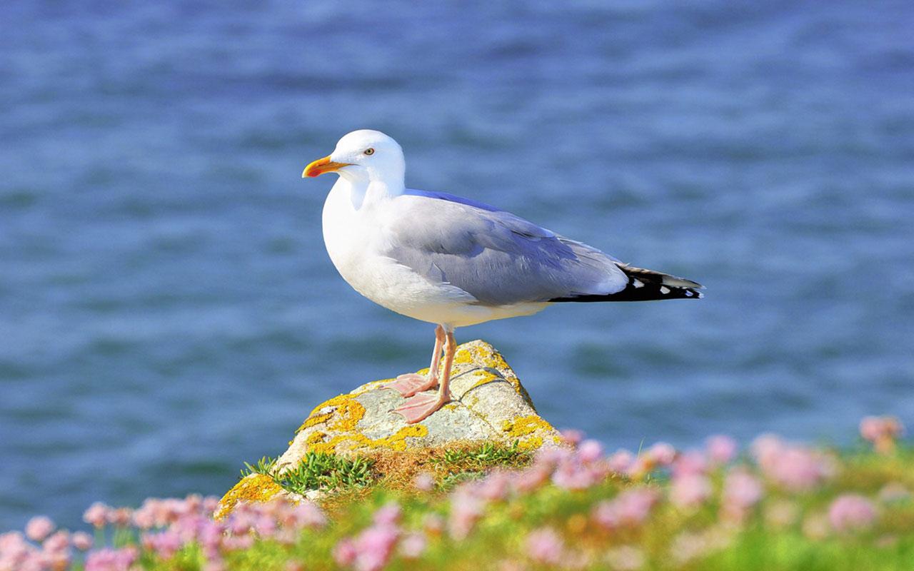 Animal WallpapersFreedom of flying seagulls HD desktop wallpaper 12 1280x800
