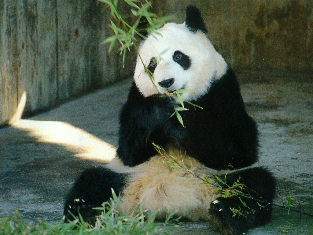 Funny panda desktop wallpaper Funny Animal 1024x768